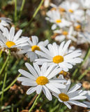 White chamomile flowers. Beautiful white chamomile flowers field Royalty Free Stock Image