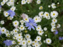 White chamomile flowers and blue chicory flowers on a Sunny summer day. field flowers. beauty in nature.  royalty free stock photography