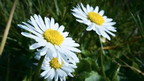 White chamomile flowers on the field at spring. White chamomile flowers field spring stock image