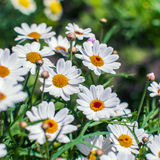 White chamomile flowers growing on meadow Stock Images