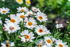 White chamomile flowers growing on meadow Royalty Free Stock Photography