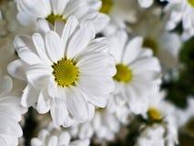 white chamomile fowers Stock Photos