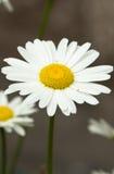 White chamomile Stock Photography