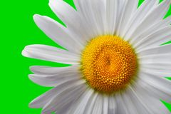 White chamomile on green background Stock Images