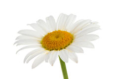White chamomile. Isolated on white Stock Photos