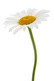 White chamomile on isolated Stock Photos