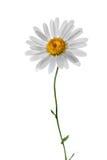 White chamomile isolated on white Royalty Free Stock Photos