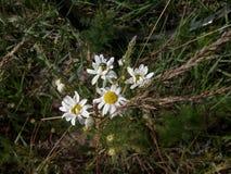White chamomile Royalty Free Stock Photo