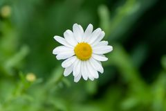Close up of white chamomile with rain drops in soft focus royalty free stock images