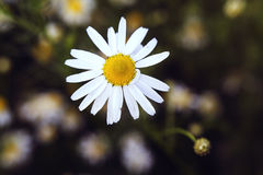 White chamomile. Single white chamomile on the field at summer Stock Image