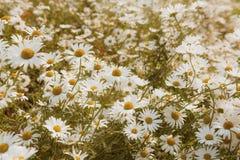 White Chamomile spring background Stock Photo