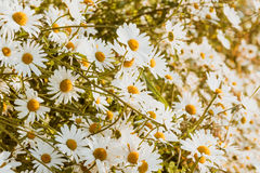 White Chamomile spring background Royalty Free Stock Images