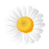 White chamomile.Spring flower Stock Photos