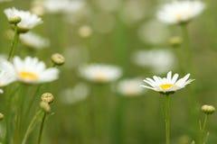 White chamomile wild flower Royalty Free Stock Images