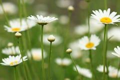White chamomile wild flower Stock Image