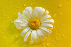 White chamomile on yellow water drop background, summer colors. For design royalty free stock photography