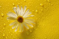 White chamomile on yellow water drop background, summer colors. For design royalty free stock images
