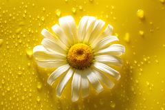 White chamomile on yellow water drop background, summer colors. For design royalty free stock photos