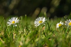 White chamomiled among green and yellow grass Royalty Free Stock Photography