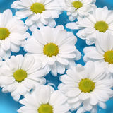 White chamomiles Royalty Free Stock Images