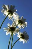 White chamomiles Royalty Free Stock Image