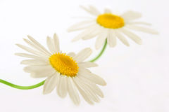 White chamomiles. Closeup of two white camomiles Stock Photos
