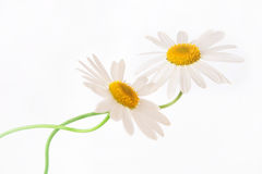 White chamomiles. Closeup of two white camomiles Royalty Free Stock Images
