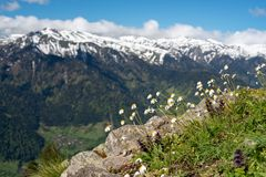 White chamomiles bloom in the green mountain meadow. White chamomiles bloom in the green meadow among the stones against the backdrop of snow-covered mountain Stock Photo