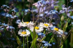 White chamomiles and blue flowers. In the sunny garden Stock Images