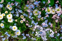 White chamomiles and blue flowers. In the sunny garden Stock Photo