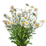 White chamomiles bouquet isolated stock photos