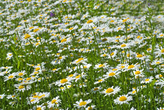 White chamomiles on green meadow Royalty Free Stock Photo