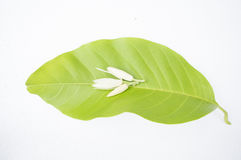 White champaka aroma plant flower Asian floral concept Stock Photography