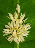 White champaka Stock Image