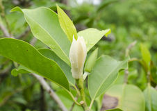 White Champaka is flower. In thailand and good smell,Michelia alba DC is science name Stock Photography