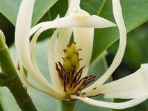 White Champaka Flower Blooming Stock Image