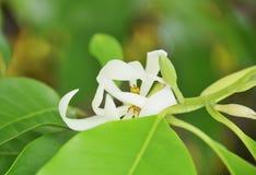 White Champaka Royalty Free Stock Images