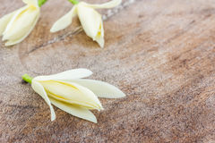 White Champaka flower. Royalty Free Stock Photography