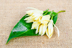 White Champaka and green leaf. Royalty Free Stock Image