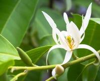 White Champaka Stock Images