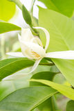 White Champaka on the tree. Michelia alba DC Stock Photos