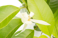 White Champaka on the tree. Michelia alba DC Royalty Free Stock Photo