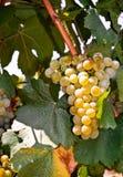 White Chardonnay. Chardonnay white grape in Bulgaria Stock Images