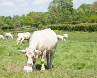 White Charolais beef cow eating salt lick mineral supplement for Royalty Free Stock Images
