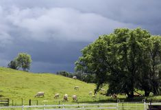 White Charolais cattle grazing on a hillside. Ominous black storm clouds gather in the background, a large maple tree stands to the side, as a herd of white stock image