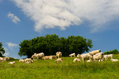 White Charolais cows in France