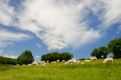 White Charolais cows in France Stock Photography