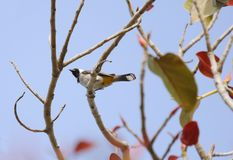 White cheek bulbul sitting on colorful tree Royalty Free Stock Images