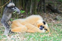 White cheek gibbon Stock Image