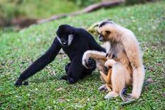 White cheek gibbon. White cheek gibbon family sitting on the grass Stock Images